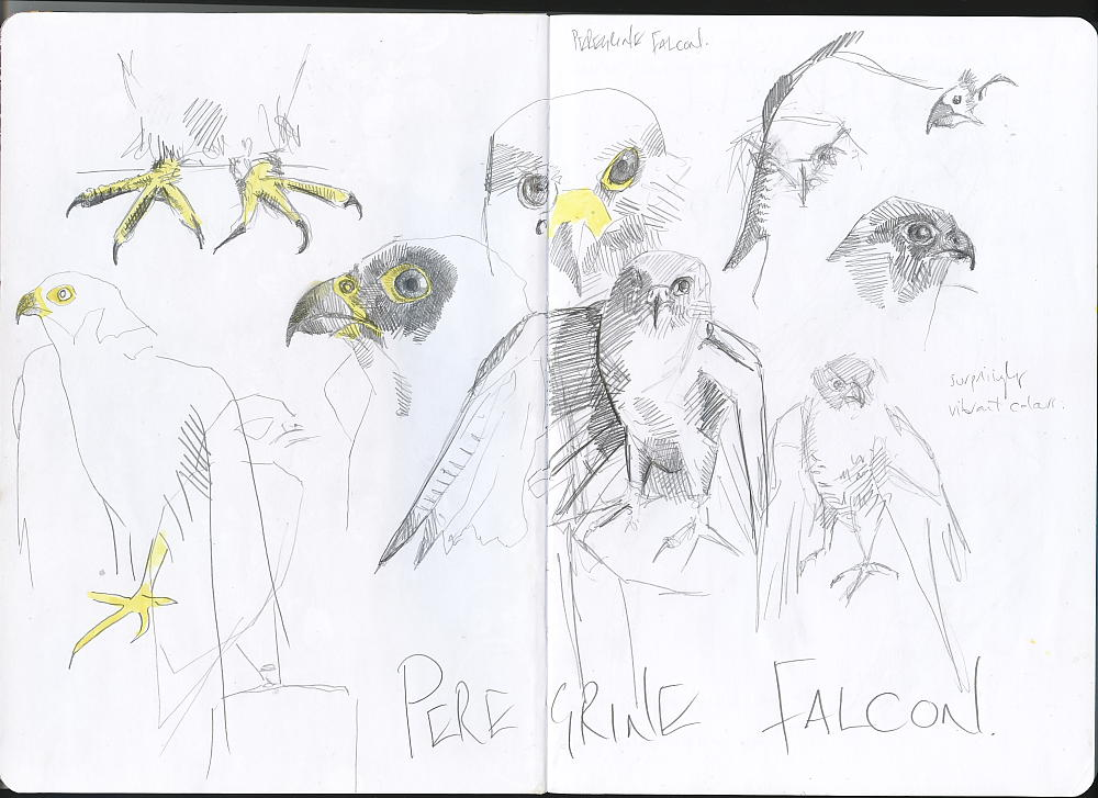 Sketchbook - Peregrine Falcon