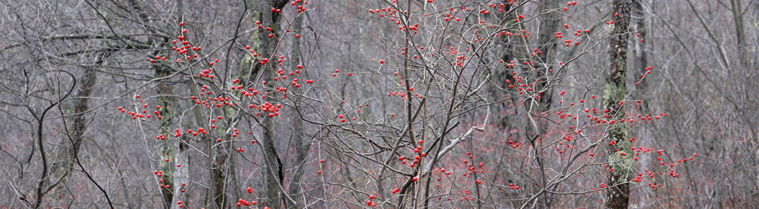 Winterberries