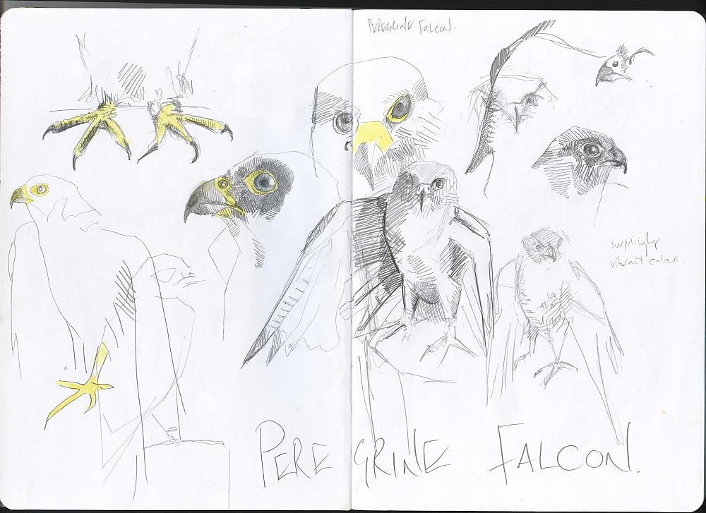 Sketchbook - Peregrine Falcon