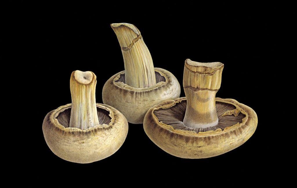 Aging Mushrooms on Black Background Final Art