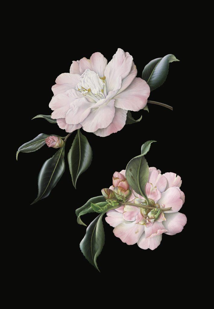 Camellia 'Star Above Star'
