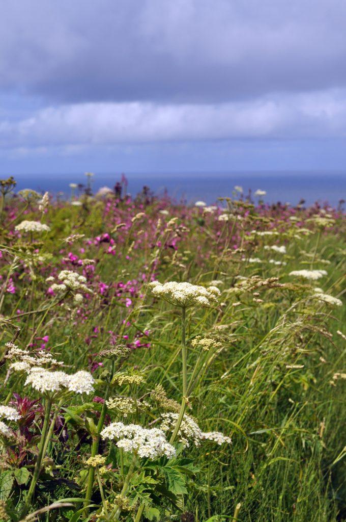 6. Cornish hedgerow in June 2